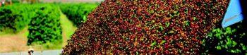 brazilian mogiana coffee