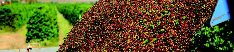 Brazilian Mogiana Coffee: What is It?