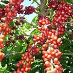 Brazilian 100% Arabica Coffee Beans